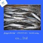 horse mackerel in open sea