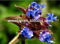 Migliore qualità natura cyanotis vaga estratto 20- idrossi- ecdisone