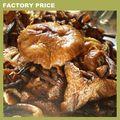 الكمأة التجاريةزراعة amelarea mellea