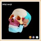 model of Skull chromatographic separation medical anatomical skull model