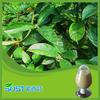 100 pure natural medical grade Damiana extract