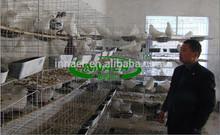 qatar granja de aves de corral de carreras de palomas de la jaula