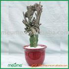 indoor Grafted Cactus Succulent Plants