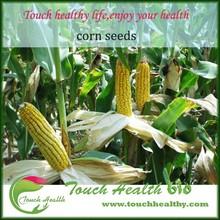 Touchhealthy fuente de alimentación híbrido maize seed / semillas de maíz amarillo