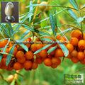 El mejor precio 5%- 20% flavonas mar- extracto de espino amarillo frutafresca