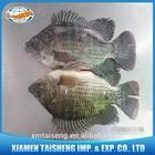 China Frozen Tilapia Tropical Fish Farm For Sale