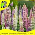 Tremoço sementes de xangai herbário de alimentação de alta qualidade da semente de flor