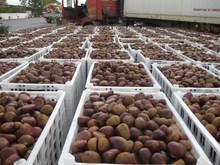 Hot Sale Healthy Food Organic Fresh Bulk Chestnuts