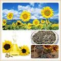 Aceite de girasol a granel precio/de girasol aceitedecocina/crudo aceite de girasol