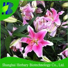 Lilium flower bulbs for cuting flower