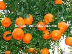 2012 New Crop Navel Orange