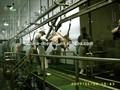 La cabeza 800 por turno, 8 horas por día de vida ovejas, de cabra por hora top venta de matadero de acero inoxidable equipo de sacrificio