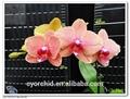 красным центр phalaenopsis для розовые бабочки орхидеи