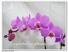 Purple Flower Phalaenopsis Seedling Blooming Size Plant in Taiwan Phalaenopsis Company