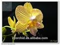 amarillo de orquídeas phalaenopsis de plantas de vivero de orquídeas matraz