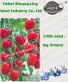 híbrido de melhores sementes de tomate da província de hebei