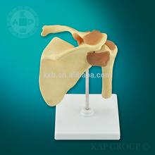 High-quility anatomy medical Shoulder Joint Skeleton Model,human skeleton teaching model