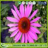 Feed additive high specification echinacea purpurea extract