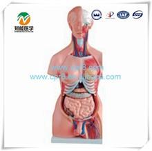 Human anatomy torso model (Both sexes 23 parts) 85cm BIX-A1035