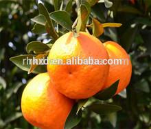 Hot sale Orange mandarin