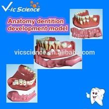 Anatomy dentition development model