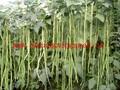 Melhor sementes de feijão SX sementes de caupi No. 1410