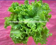 """JI PING DA SU SHENG"" green leaf excellent quality lettuce seeds in vegetable seeds"