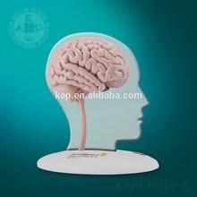 A08-002 Plastic medical anatomy led human brain model