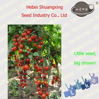 Vegetable Seeds Cherry Tomato Seed for Sale