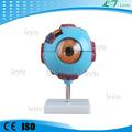 Xc-316 ojo humano modelo para la venta