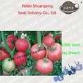 de color rosa híbrido de tomate semillasdetomate caliente de la venta