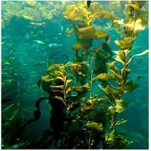Alghe/estratto di alghe nutrienti idroponica fertilizzante liquido da ascophyllum nodosum