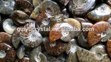 Natural fósil de la amonita