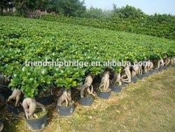 small medium indoor outdoor decorative ornamental bonsai plants of Jinseng Ficus Microcarpa