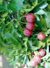 Hawthorn Berry P.E