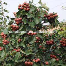 shan zha dry hawthorn fruits fresh hawthorn berry