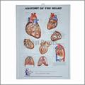 Corazón Anatomical chart, 3D médica poster, 3D anatómico imagen