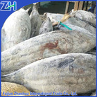 sea frozen skipjack tuna whole round 1.8kg up