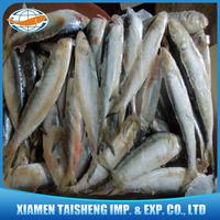 Frozen Sardine Fish Scientific Name