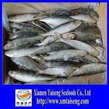 Frozen Fresh Sardines for Bait on Sale Scientific Name
