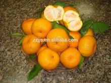 Citrus fruit----- baby mandarin orange/ yongchun mandarin
