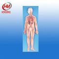 Gd/a16001 sistema circulatorio modelo