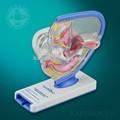 Cung cấp y tế nữ reproductive hệ thống giải phẫu uterus bằng nhựa nữ sinh dục mô hình nhân mô hình