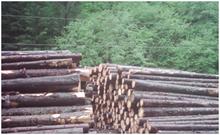 European spruce logs