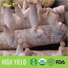 GAP/HACCP certification rich yield Pleurotus eryngii Quel mushroom grow bag