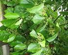 High quality Eucalyptus oil 80%ex-camphor (Cas:8000-48-4)