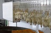 Halal chickens slaughter processing line slaughterhouse