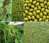 Conventional Type China Best Fresh Material Orgnic Green Mung Bean