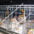 2015 galvanizado profesional automática de aves de jaula de trampa