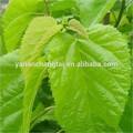 Iso GMP certificado fuente de la fábrica Natural de alta calidad de hoja de morera Polysaccharide10 % 20%